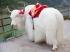 Bò Tây tạng - Yak