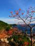 Cù Lao Chàm - Ngắm sắc hoa Ngô Đồng ❤️