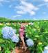 Vườn hoa Cẩm Tú Cầu ở Đà Lạt vào tháng 10