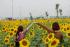 Hoa Hướng dương (Sunflower)
