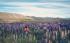 Lake Tekapo - Mùa hoa lupin nở rộ